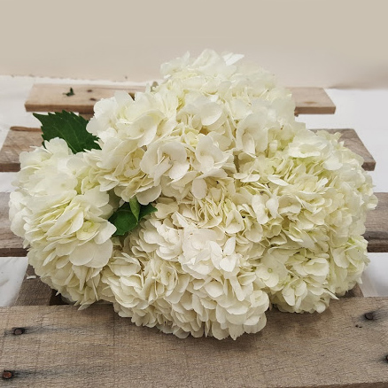 White Hydrangea Grower Bunches
