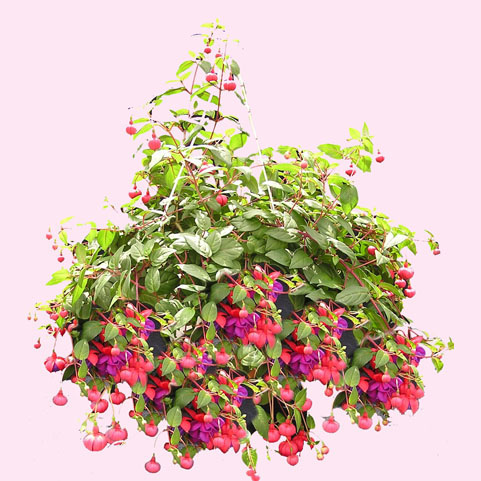 WW-179 Fuchsia Hanging Basket