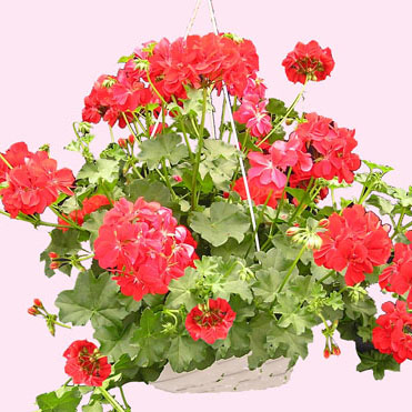 WW-181 Geranium Hanging Basket