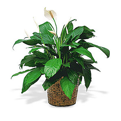 WW-227 Peace Lily Basket